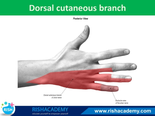 Anatomy-Ulnar-nerve-www.rishacademy.com